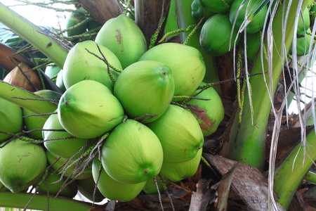 Coconut on tree  photo