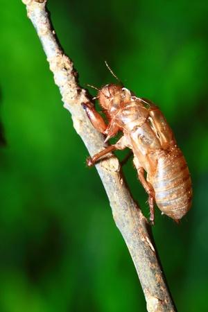 Cicada shell  photo
