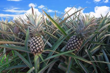 パイナップル、熱帯性果物 写真素材