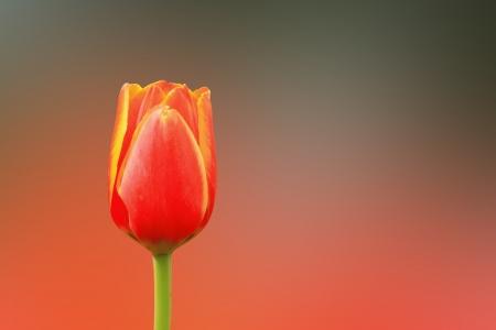 five petals: Beautiful bouquet of tulips  Stock Photo