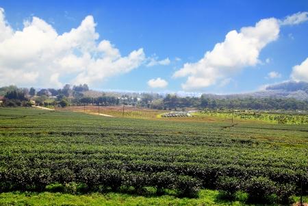 darjeeling: green tea plantation landscape