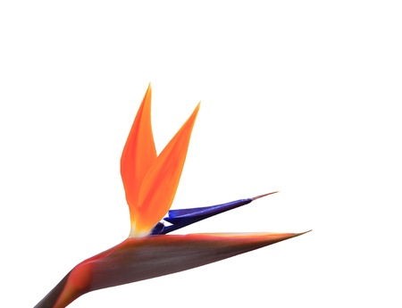 bird of paradise plant: Bird of Paradise Flowers Isolated on a White Background  with clipping part