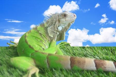 martinique: Iguana