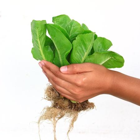 Hydroponic plantaardige