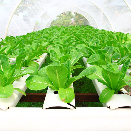 hydroponic plantation Standard-Bild