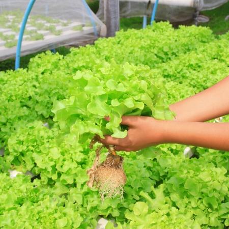 ファーム内の hydroponic 菜園 (緑のカシ) 写真素材