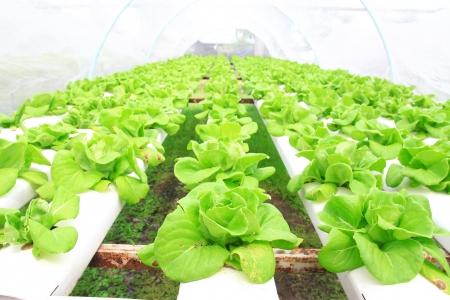 温室で育つ水耕野菜