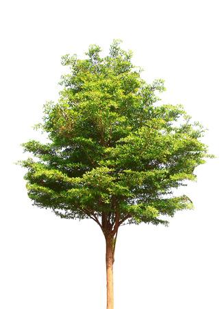 Mooie groene boom die op wit wordt geïsoleerd Stockfoto