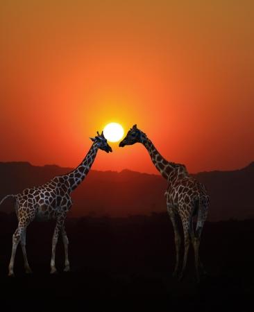 Giraf zonsondergang Stockfoto