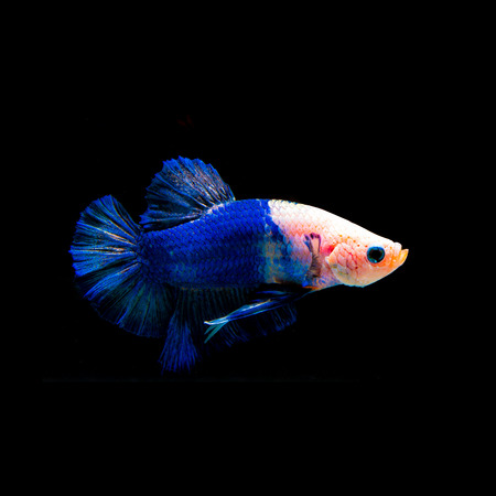 siamese fighting fish: Fighting fish
