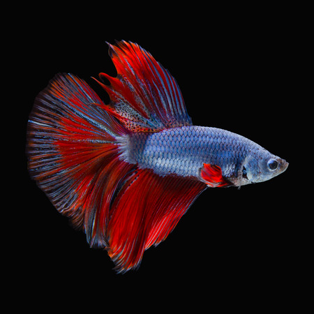 big fin: red fighting fish