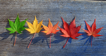 beguin: Maple-Leaf  on the tree Stock Photo