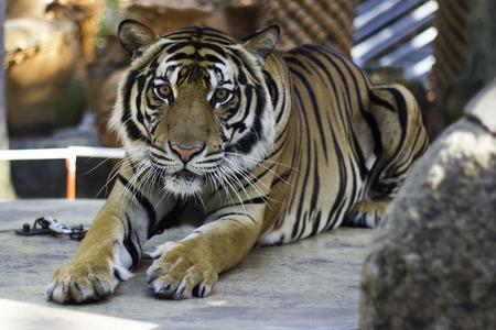 bengal tiger: Tiger, portrait of a bengal tiger