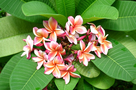 bunch of flowers: plumeria on the plumeria tree, frangipani tropical flowers