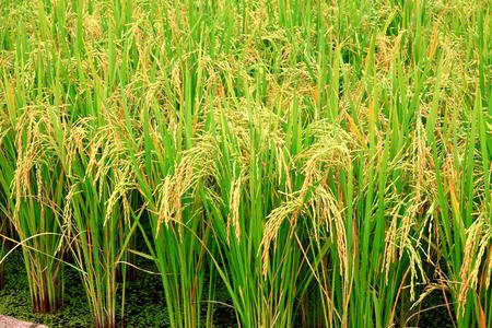 rice plant  Standard-Bild