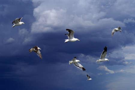 group of sea gulls flying in stromy weather               Reklamní fotografie