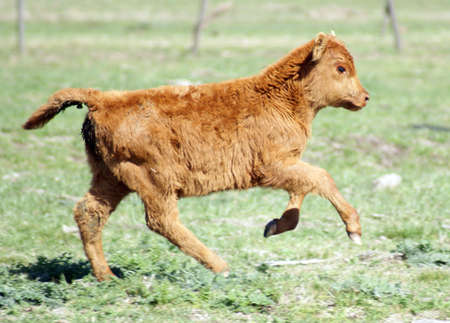 A cute calf running in the pastures photo