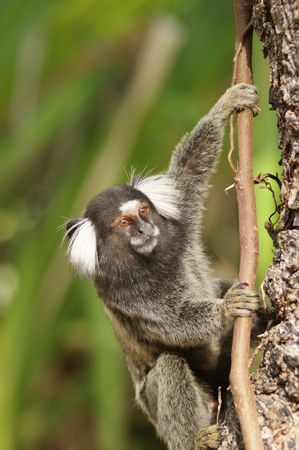 An adult common marmoset in a tree Stock Photo