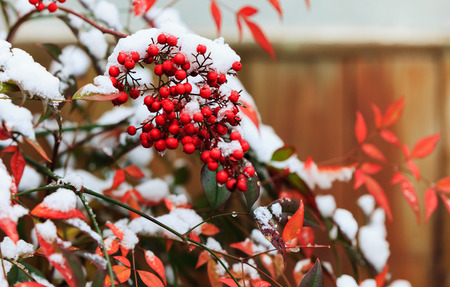 snow on the fruits tree 스톡 콘텐츠