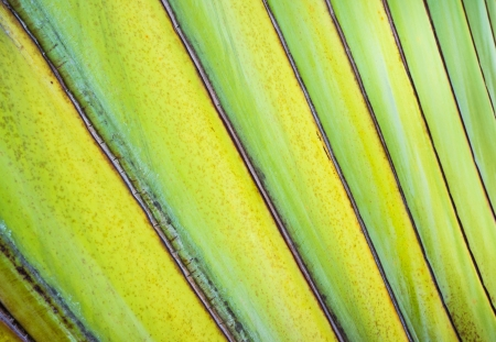 banana big branch  photo