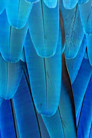 loros verdes: pluma de color azul de fondo