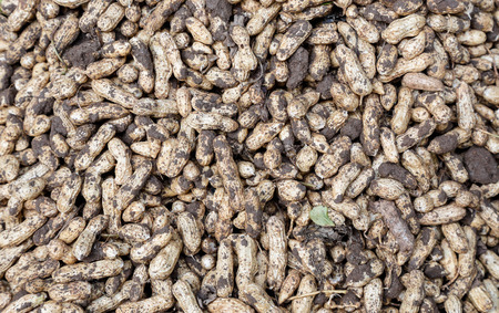 ground nut: ground nut