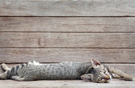 lay down: cat lay down on wood plank background
