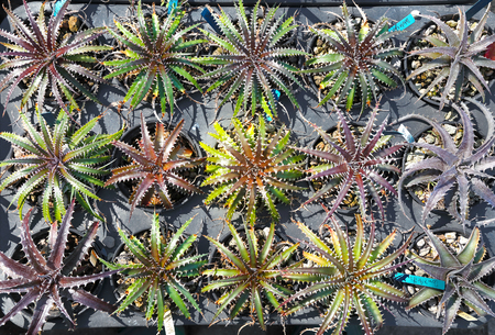 dyckia: Mini Dyckia Plant Bromeliaceae genus of usually stemless plants of the pineapple family Bromeliaceae