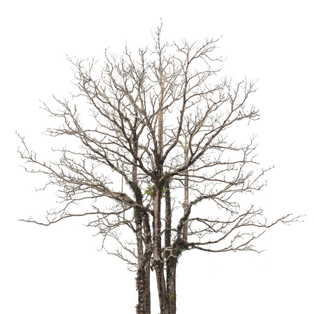 Single old and leafless tree isolated on white background