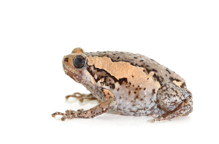 Chubby frog or Bubble frog isolated on white background