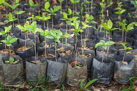 arbol de cafe: Árbol joven de café en el vivero de Bolsas Foto de archivo