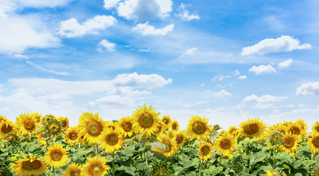 Sunflower field with btight blue sky background