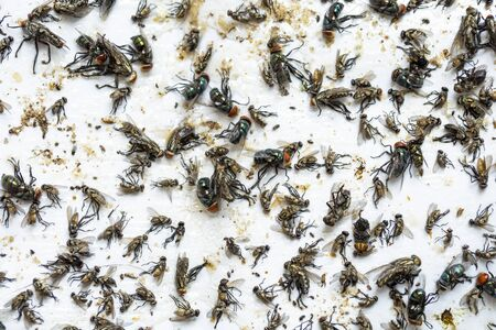 Dead flies trapped in a glue paper