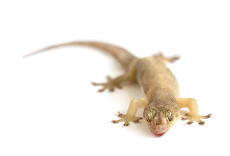 Closeup of a lizard crawling on a white background