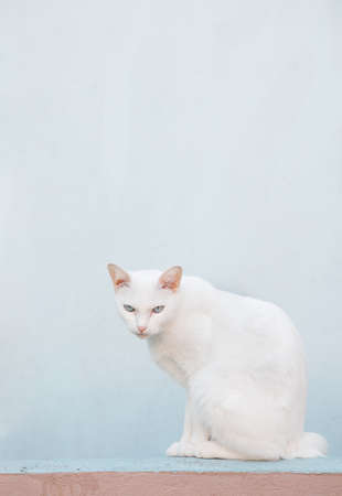 White cat on the wall and blue background