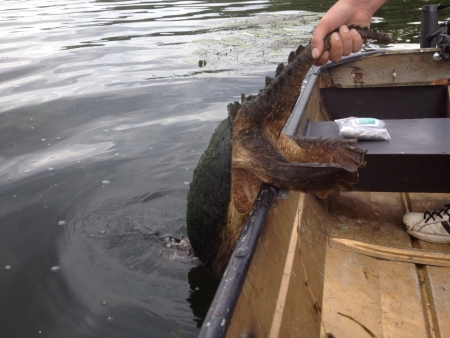snapping turtle: Found a snapping turtle while fishing.  Stock Photo