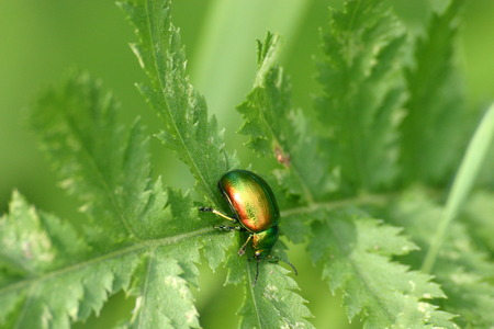 A small beetle on a green leaf