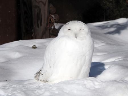 snow  snowy: Snowy Owl in the snow
