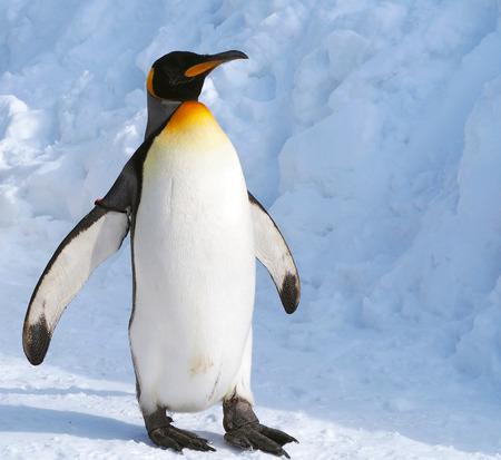 皇帝ペンギン 写真素材