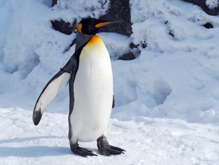 king penguins: Emperor Penguin