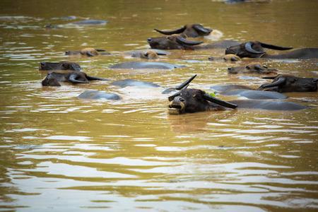 take a bath: Buffalo take a bath in the canal