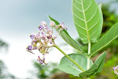 gigantea: Purple crown flower,Giant Indian Milkweed,Gigantic Swallowwort