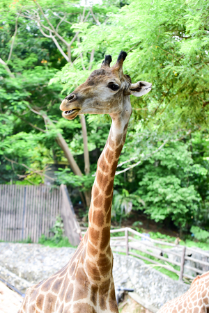 long bean: Giraffe eats food from tourists in open zoo