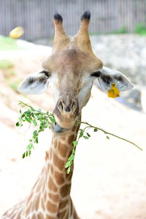 Giraffe eats food from tourists in open zoo