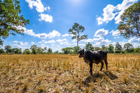dry cow: The black cow in the dry fields. Stock Photo