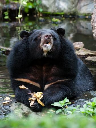 Asiatic black bear eating banana