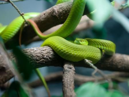 limbless: Green snake,shallow dof