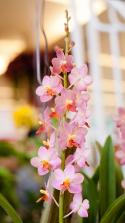 Cattleya orchid flower