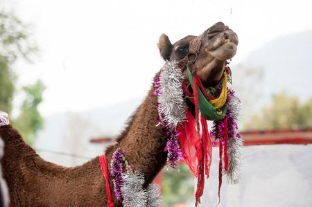 Fancy touristic camel