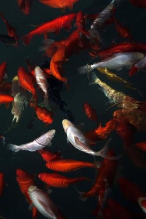 Koi fish Фото со стока